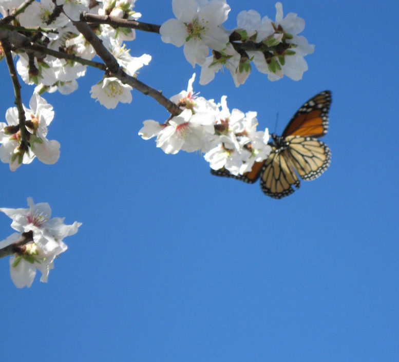 Butterfly-on-Almond-Blossoms